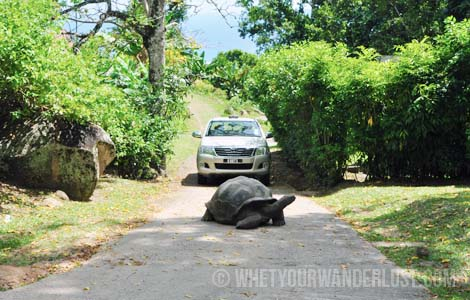 Tortoise in the road